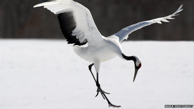 Red crowned crane dancing and displaying wings #nature