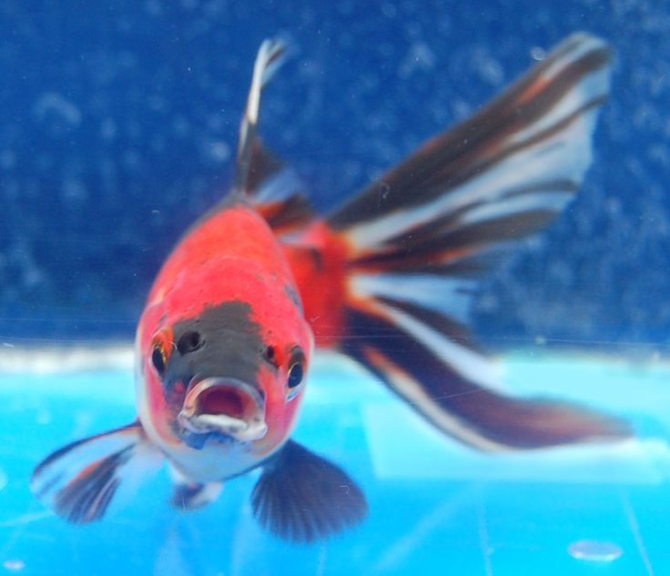 571 best goldfish for the pond images on pinterest fish for Best pond fish