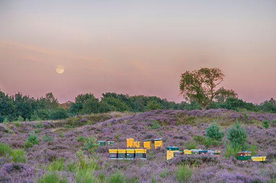 Moonrise over de heide Posbank Veluwe Nederland