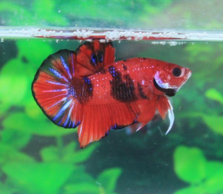Fancy koi hmpk n0 a9 male beautiful for Betta fish training