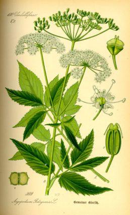 Bršlice kozí noha-(Aepodium podagria)  kvete: červenec–září výška: 50–100 cm  břehy toků, rybníků, světlé vlhké lesy, křoviny, paseky, ve světlých lesích, vlhkomilná, nesnášející přílišné zastínění  invazní druh na čerstvě zkypřených půdách.