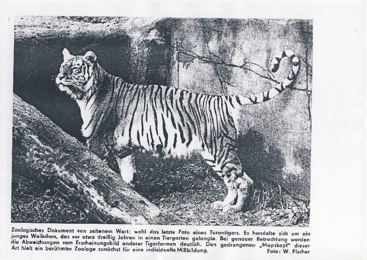 Best 25+ Extinct tigers ideas on Pinterest | Types of wild ...