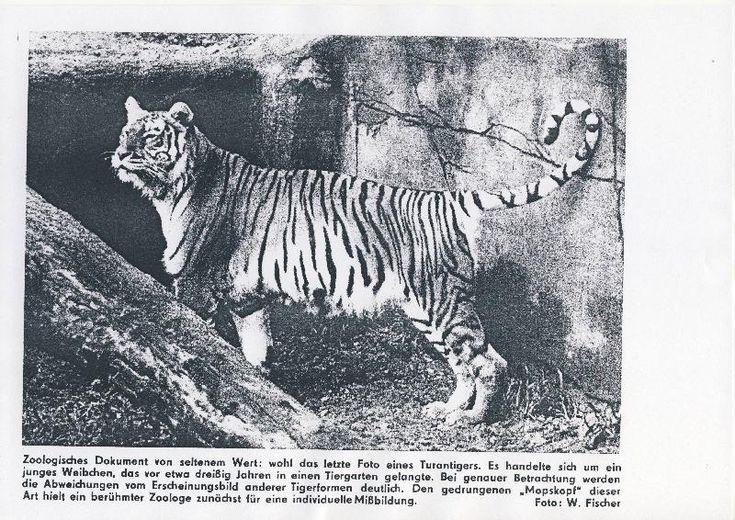 Caspian Tiger- extinct