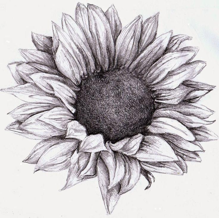 Sunflower pencil sketches
