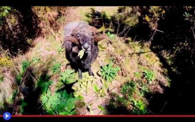 Pecorone contro drone, solo lui la spunterà #animali #pecora #nuovazelanda #droni #t