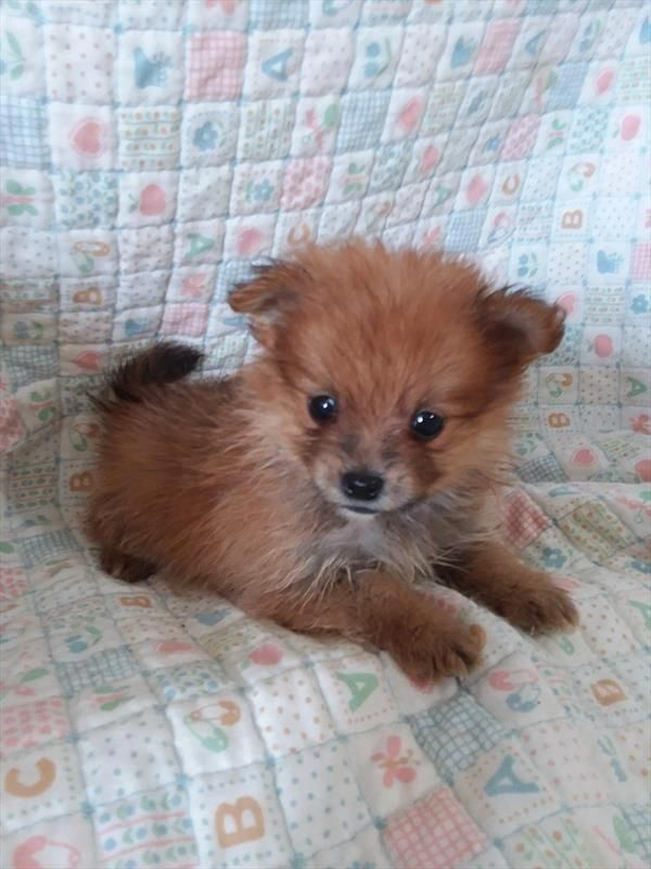 Pomeranian Bold And Inquisitive Pomeranian Puppy For Sale