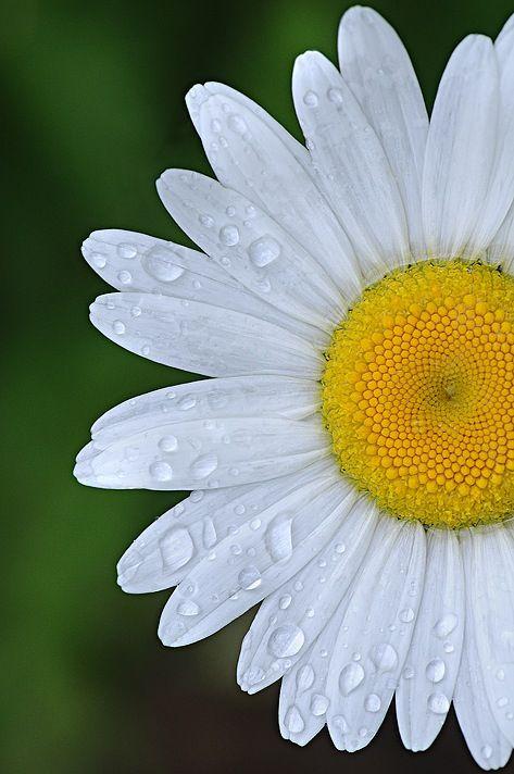 White daisy with raindrops