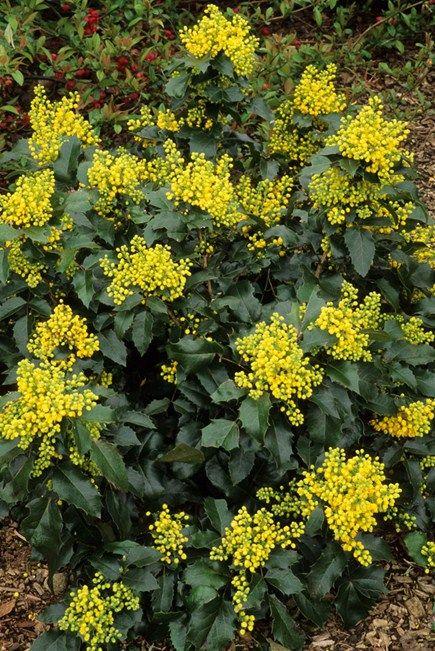 Mahonia aquifolium 'Apollo' Oregon Grape - for partial shade.  Early bloom.
