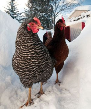 HOW COLD IS TOOOO COLD? I constantly worry about my chickens temperatures!  check out site... Chickens can handle very cold temperatures. Some experts say chickens don't really start suffering until the temperature inside their coop falls to minus'