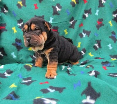 Black and Tan Pointed Shar Pei