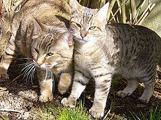 LOVE pixie bob cats - the dog of the cat world