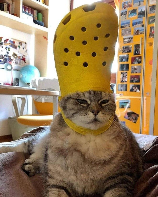 His Holiness The Pope Pets With Crocs Hats Cute Animal Memes Cute Animals Funny Cat Pictures