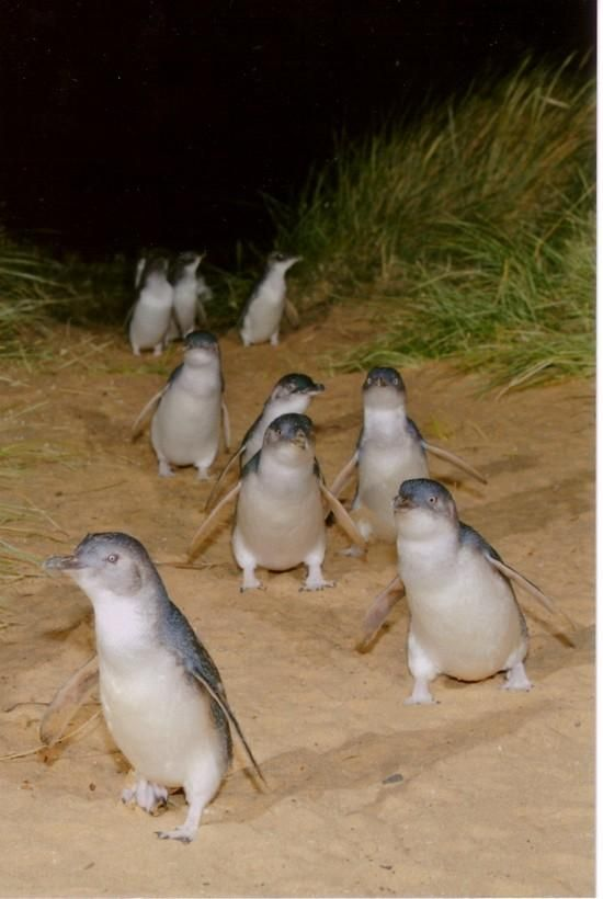 Philip Island, Australia...The march of the fairy penguins. Every night, hundreds of them come ashore and go to their burrows in the sand. They are so cute, and you get to watch them and walk on this boardwalk right next to nesting penguins.