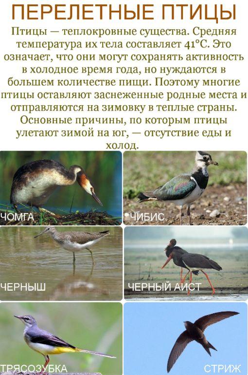 Перелетные птицы. Карточки. - Babyblog.ru