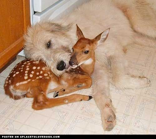 A Cute Pair: Baby Deer, Cute Animal, Best Friends, Baby Animal, Families Dogs, Odd Couple, Animal Friends, Irish Wolfhound Puppies, Giant Schnauzers