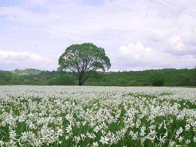 Teljes pompájában virágzik a nárcisz, ezt a 3 helyet keressétek | Sokszínű vidék
