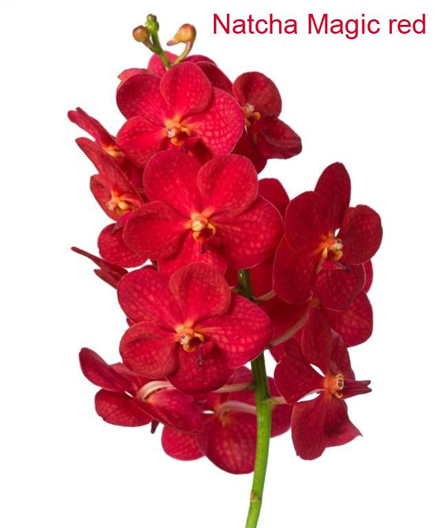 Vanda Natcha Magic red
