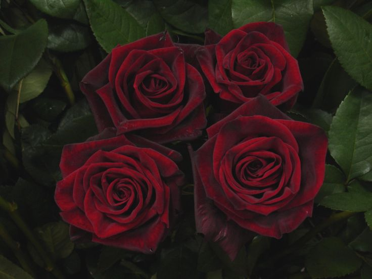 best 25 black magic roses ideas on pinterest dark red. Black Bedroom Furniture Sets. Home Design Ideas