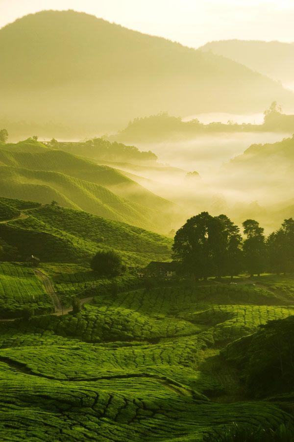"""China tea fields | Chinese tea fields http://www.interactchina.com/home-furnishings/#.VSiZ2_mUfYA"""