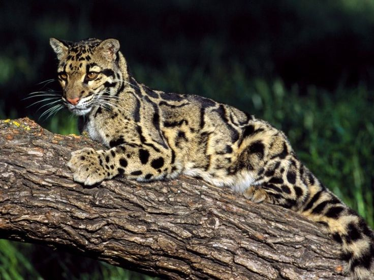 Clouded Leopard (Photograph by Peter Weimann / Animals—Earth Scenes)  Somewhere between the small cats, which can purr, and the big cats, which can roar, are clouded leopards. These rare cats make their home in the tropical forests of Southeast Asia.
