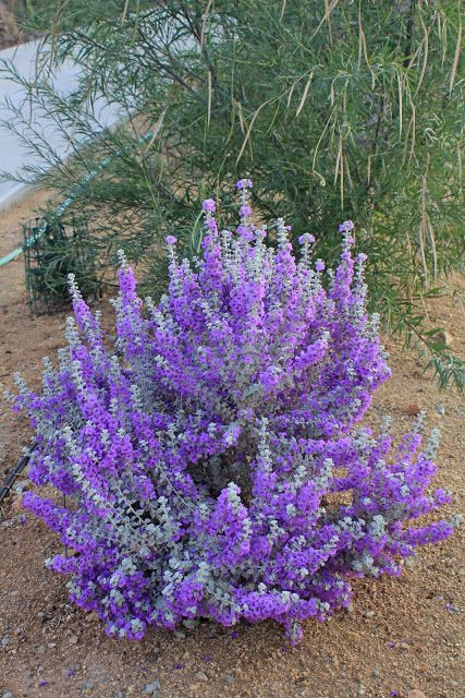 11/1/12 Blue Texas Ranger/Blue Ranger (Leucophyllum zygophyllum). Texas Rangers are tough, drought tolerant, frost tolerant denizens of the Chihuahuan Desert of Texas and Mexico.