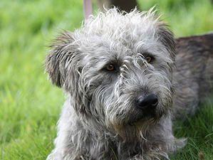 Glen of Imaal Terrier.