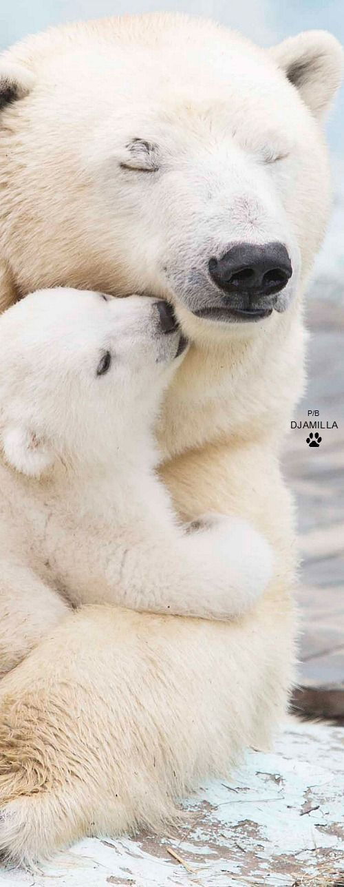 Beautiful. Animals can and do love. Sadly, because of global warming, We may see this species of bear become extinct.:(