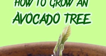 How To Grow An Avocado Tree. For best chance of success, try this with a pit that has been taken from a very (very) ripe avocado that hasn't been refrigerated. You may also want to start 2 or 3 at a time in case one fails.