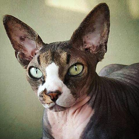 #Repost @sphynx003 with @repostapp ・・・ #おはようございます #ねこ#ねこばか#猫好き#猫 #スフィンクス猫#愛猫 #cat#cats#catstagram#sphynx #sphynxlair#sphynxcats #sphynxcatsofinstagram  #sphynxlove