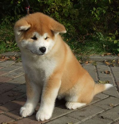 Akita Puppy! This WILL be my next puppy!! One day!