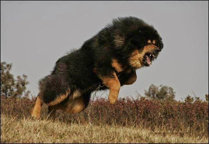 Drakyi Tibetan Mastiff