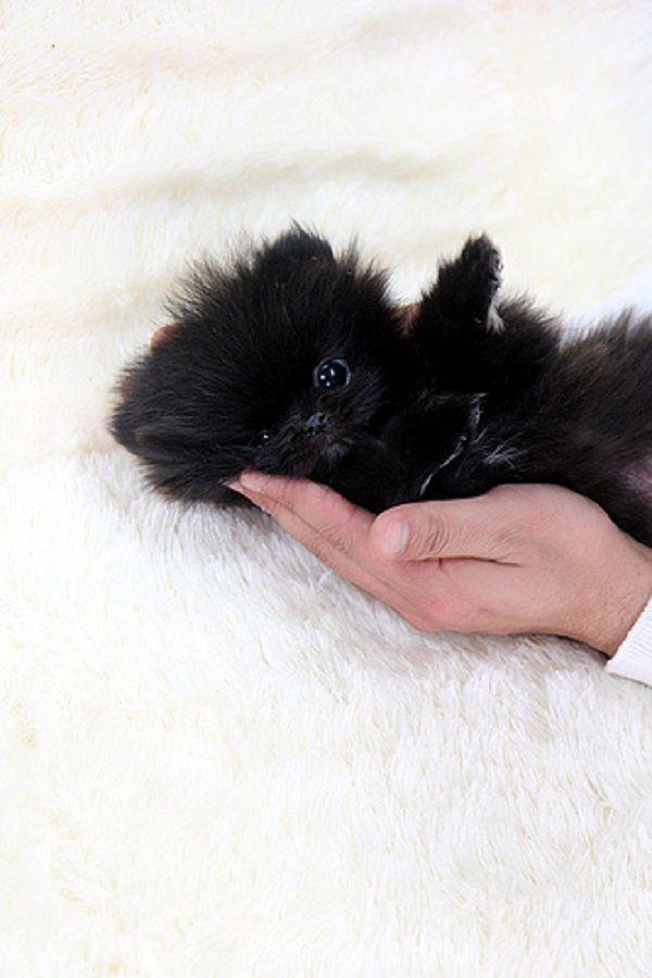 black teacup pomeranian puppy | Zoe Fans Blog