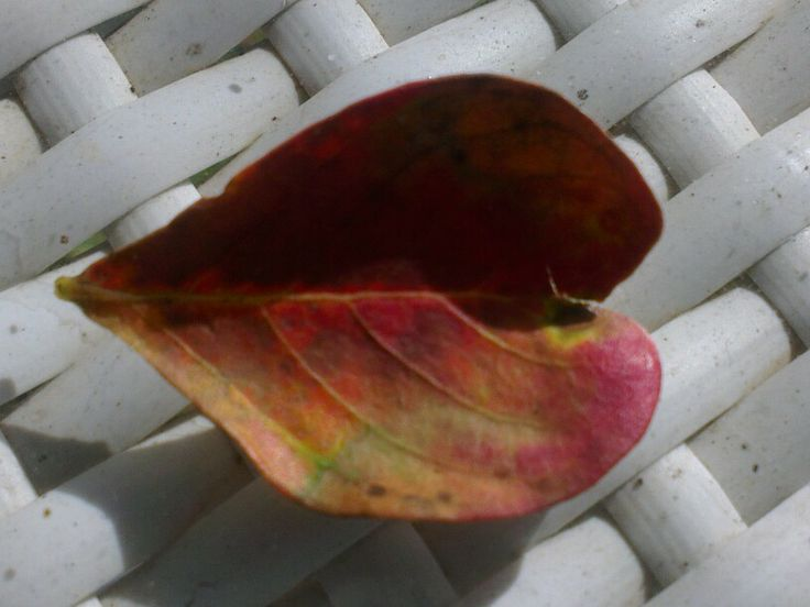 The last leaves of the crepe myrtle before its winter rest. I am enjoying the colour & shape of this one