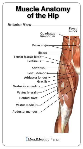 Groin area anatomy