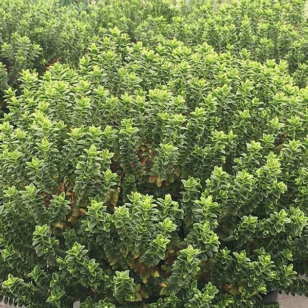 Buy shrubby veronica Hebe buxifolia: Delivery by Waitrose Garden in association with Crocus