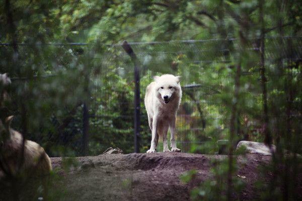 Wolf in Artis, by Jorinde Reijnierse