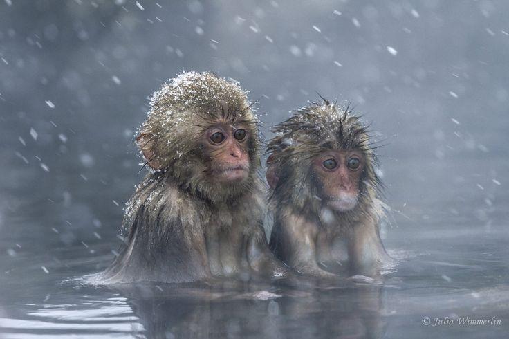 Incredibly entertaining japanese macaques in the hot spring near Nagano, Japan