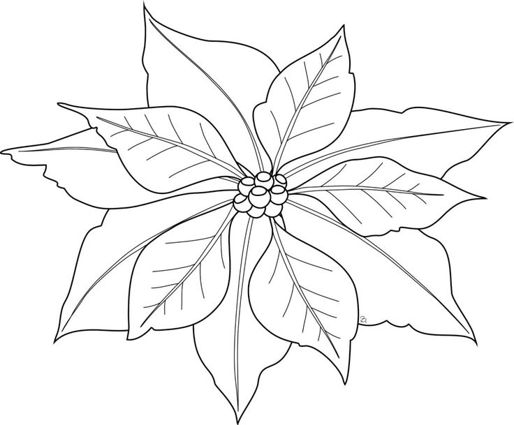 This is a photo of Sizzling Poinsetta Coloring Page
