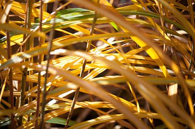 Yellow grass Miscanthus malepartus