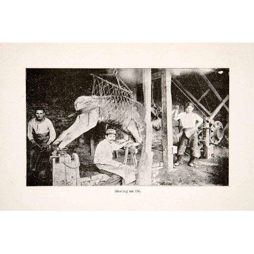 1890 Print Shoeing Ox Harness Farrier Farm Costa Rica Sling Calkins Crush Trevis - Original Halftone Print
