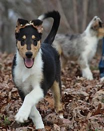 smooth collie pup