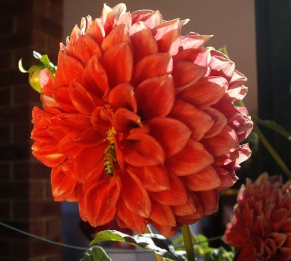 A bee can be seen inside this red Dahlia
