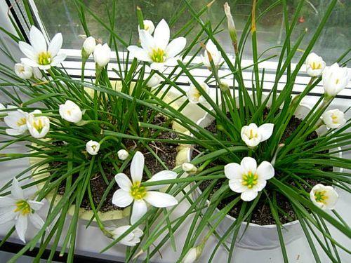 домашние луковичные растения фото и названия
