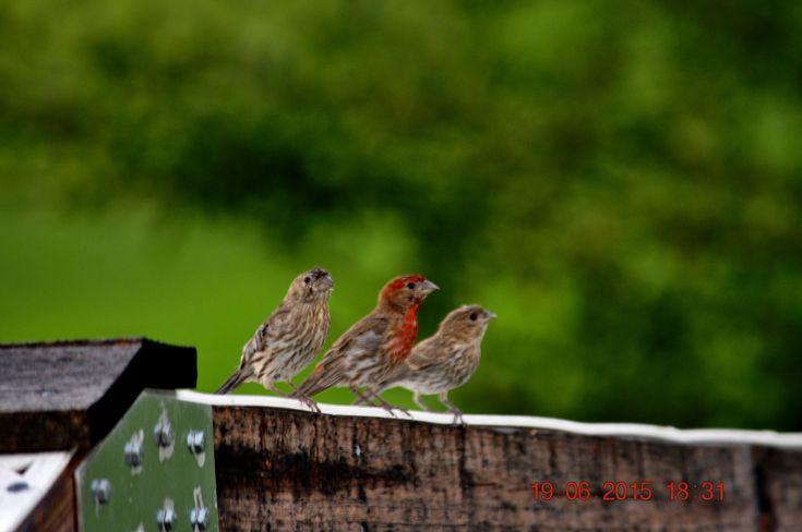 https://flic.kr/p/veAq6t | Purple Finch | 2015 June 19, Birds