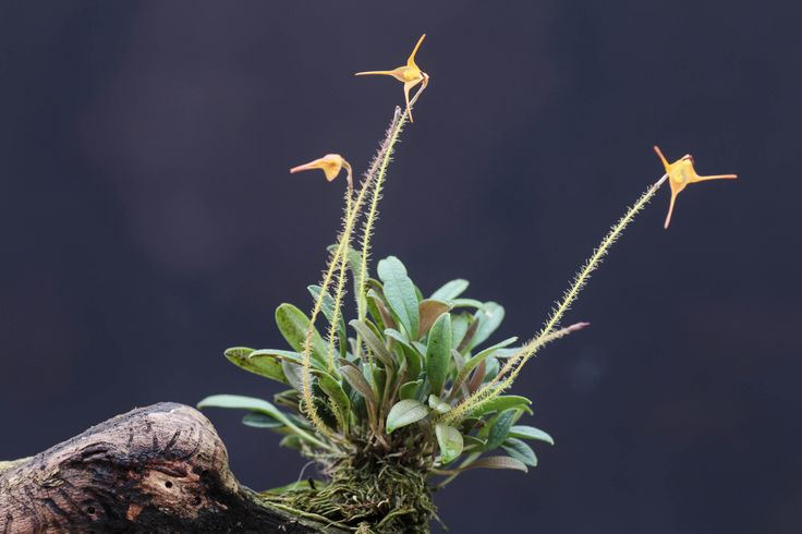 https://flic.kr/p/c8Pead | Porroglossum echidna | Eastern Cordillera of Colombia at 2500m and up. Differs only in clavate-thickened tails of the sepals from muscosum. Most flowers on this plant are non-resupinate.