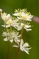 Just Seed British Wild Flower - Dropwort - Filipendula vulgaris - 2000 Seed by Just Seed, http://www.amazon.co.uk/dp/B0084C7IFG/ref=cm_sw_r_pi_dp_Abgyrb0WE4E87