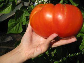 Как вырастить помидоры сладкими » Женский Мир