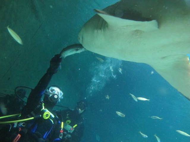 HAND-FEEDING OUR SHARKS at Manly Sea Life Sanctuary....