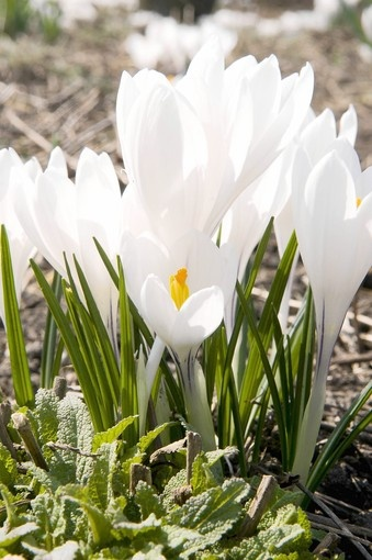 What to do with spring bulbs after they finish blooming. Don't cut back the leaves!
