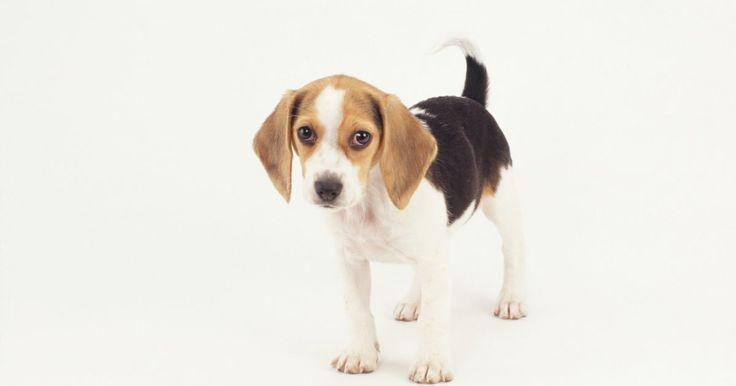 Como se livrar do odor de urina de cão. O odor de urina canina se infiltra nas fibras do carpete e até em pisos de madeira-de-lei e linóleo. O xixi do cachorrinho exige uma solução forte para ser erradicado. Tanto os remédios caseiros quanto compostos químicos podem livrar sua casa dos infelizes acidentes que permanecem por muito tempo depois do deslize de seu cão.